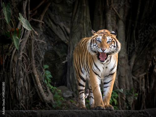 Aluminium Tijger Sumatran tiger standing in a forest atmosphere.