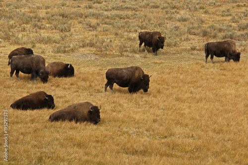 Fotobehang Bison Bison herd in Yellowstone National Park in Wyoming in the USA