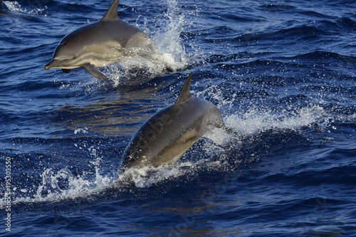 Fotobehang Dolfijn COMMON BOTTLENOSE DOLPHIN (TURSIOPS TRUNCATUS), OR ATLANTIC BOTTLENOSE DOLPHIN