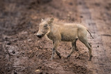 Baby warthog in profile crosses muddy track - 195307785