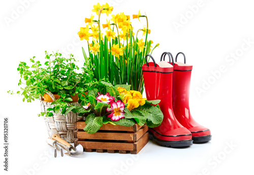 Spring gardening flower narcissus still life with red boots © Yasonya