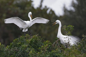 Great Egret landing next to its nesting mate - Venice, Florida