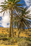 Three palm trees on barren ground in sunshine and blue sky - 195327542