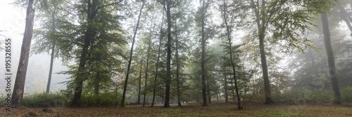 Las liściasty we mgle, Rombergpark, Dortmund, Nadrenia Północna-Westfalia, Niemcy, Europa
