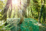 Sunshine in the green forest - 195331565