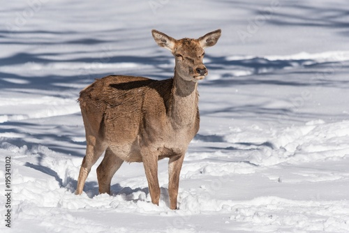 Fotobehang Hert Female red deer in a snowy field