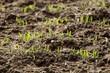 Champs de céréale en germination en automne