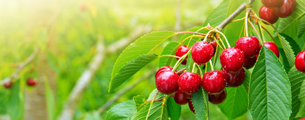 Cherries hanging on a cherry tree branch. © Swetlana Wall