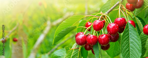 Aluminium Kersen Cherries hanging on a cherry tree branch.