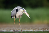 The grey heron (Ardea cinerea) standing and fishing in the water. Big heron with fish with green backround - 195376515