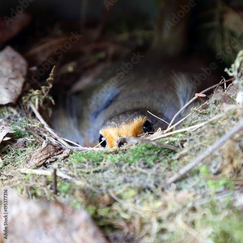Foto op Canvas Natuur European robin