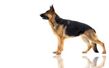 German Shepherd dog stands sideways on a white background isolated - 195380779