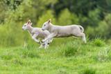 Young lambs - 195383966
