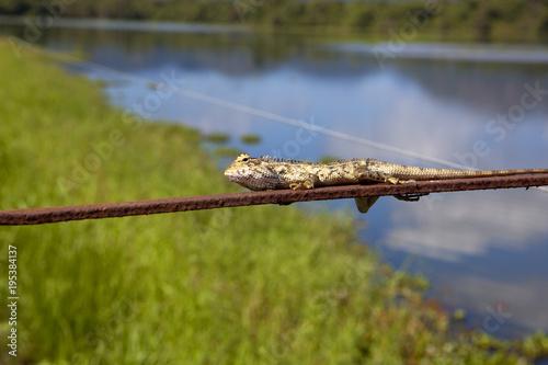 Foto op Canvas Natuur sri lankan chameleon