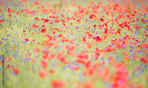 Staande foto Klaprozen Mohnblumen und Kornblumen im Sommer