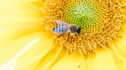 Biene sammelt Nektar auf Sonnenblume