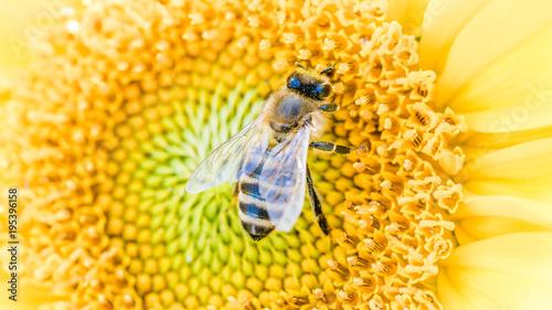 Fotobehang Bee Biene sammelt Necktar auf Sonnenblume
