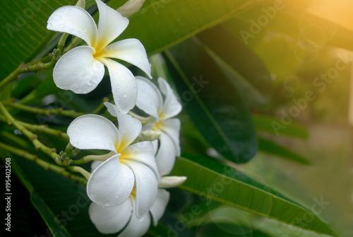 Plexiglas Plumeria White plumeria flower on the tree with sun light and lens flare.