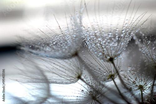 Aluminium Paardenbloemen TARAXACUM. DIENTE DE LEÓN, SEMILLAS EN DISPERSIÓN, POLINIZACIÓN.