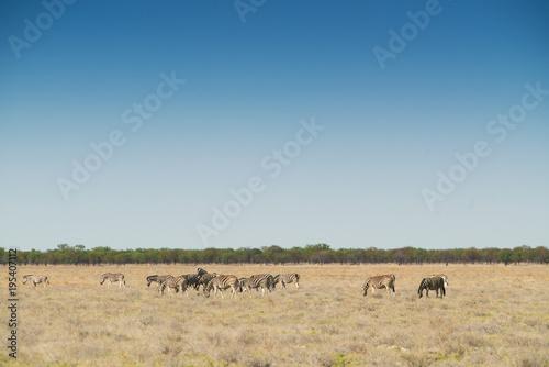 Foto op Canvas Natuur Herd of zebras walking on etosha. Namibia. Africa.