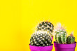 Tiny Cactus in the Pot on Bright Neon Background. Saturated Image