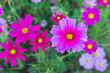 blooming pink flower in the garden, Cosmos field in Thailand - 195417732