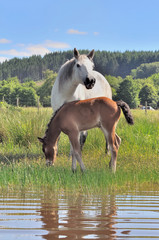 Brown foal and white mare in grassy swamp