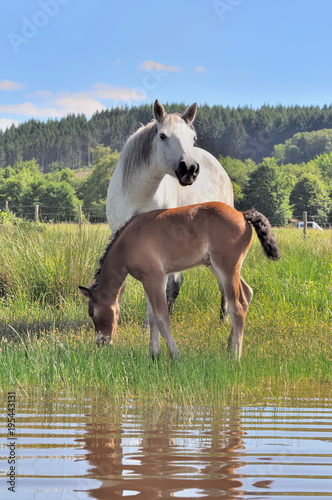 Fotobehang Paarden Brown foal and white mare in grassy swamp