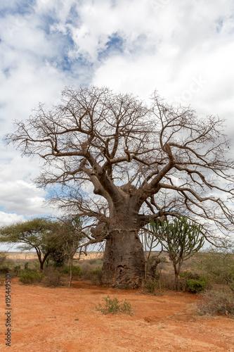 Keuken foto achterwand Baobab Baobabbaum (Adansonia digitata) - Afrikanischer Affenbrotbaum - Tansania