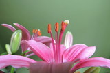 Stamens and a pistil of a lily