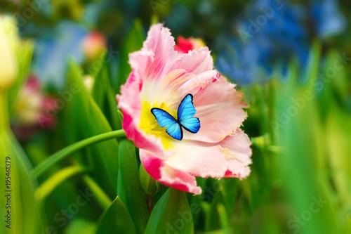 piękny niebieski motyl siedzi na kwiatku. różowy tulipan