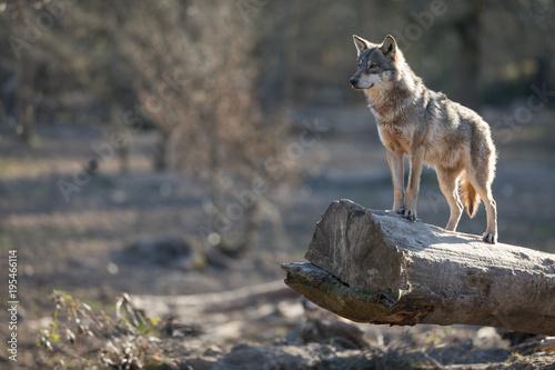 Fotobehang Wolf Grey Wolf Animal