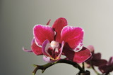 A purple, violet, pink, red orchid - 195468981