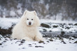 Samoyed dog in the snow outside.