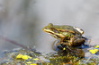 Beautiful marsh frog, European wildlife