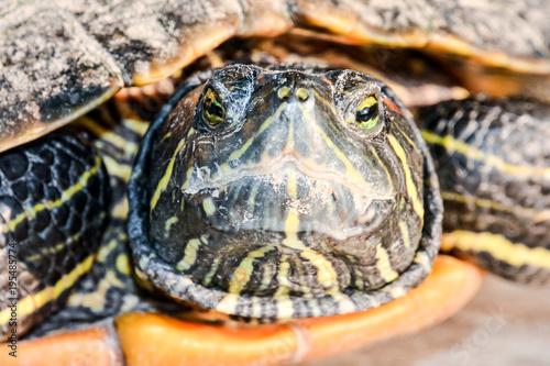 Aluminium Schildpad Trachemys Scripta Elegans Tortoise