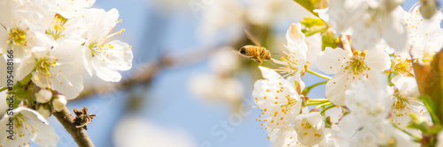 Fotobehang Bee Flying Bee #Spring Blooming #Closeup #Cherry Blossoms