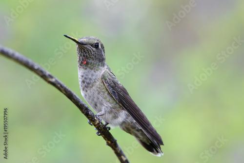 Hummingbird w Kalifornii (prawdopodobnie samica Anny).