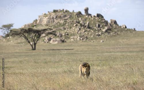 Fotobehang Lion Black maned male lion in its natural savanna habitat