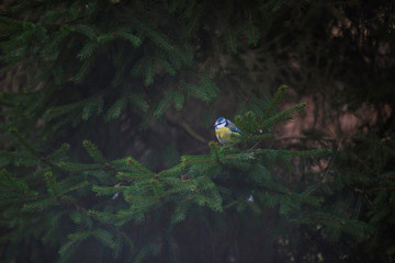 Eurasian blue tit perched on branch of fir tree.