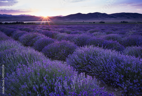 Fototapeta Lavender Field at Sunset