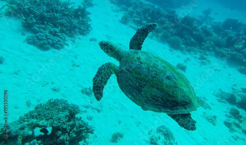 Aluminium Schildpad echte Karettschildkröte im Roten Meer