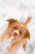 Nova Scotia Duck Tolling Retriever puppy