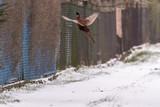 dziki ptak, kogut fruwa, tło ogrodzenie z siatki, niebieska folia, zima,śnieg