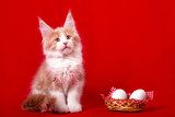 A maine coon kitten sitting at the basket of eggs on the red background in the studio. Easter. - 195548729