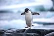 An antarctic Adelie penguin jumping between the rocks