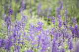 Field of Blue salvia flowers.(selective focus) - 195567162
