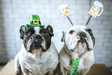 Couple of dogs with disguise for Saint Patrick's Day - 195568927