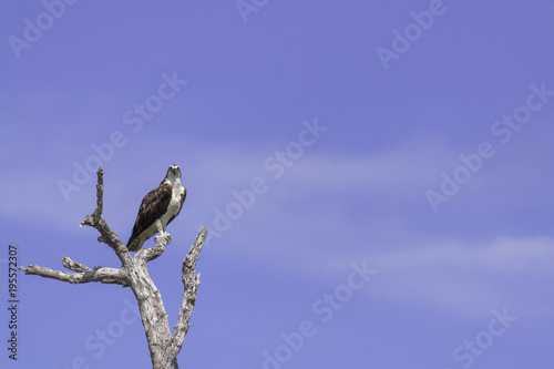Fotobehang Eagle Osprey perched on tree. ready to hunt breakfast looks attentively down at the river with blue sky as background. also known as sea hawk or river hawk or fish hawk. beautiful bird of prey .