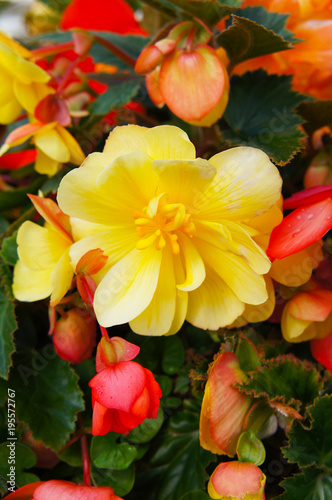 Foto Murales Begonia tuberhybrida or tuberous-rooted begonia yellow and red flowers with green